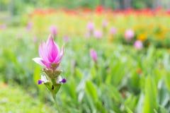Φωτογραφία του άνθους alismatifolia κουρκούμης Στοκ Φωτογραφία
