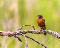 Φωτογραφία του αμερικανικού πουλιού του Robin στοκ εικόνες