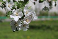 Φωτογραφία του ανθίζοντας κήπου της Apple στη Μόσχα την άνοιξη Στοκ Φωτογραφία