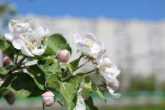 Φωτογραφία του ανθίζοντας κήπου της Apple στη Μόσχα την άνοιξη Στοκ φωτογραφία με δικαίωμα ελεύθερης χρήσης