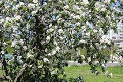 Φωτογραφία του ανθίζοντας κήπου της Apple στη Μόσχα την άνοιξη Στοκ Φωτογραφίες