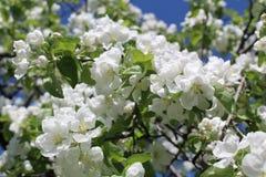 Φωτογραφία του ανθίζοντας κήπου της Apple στη Μόσχα την άνοιξη Στοκ φωτογραφίες με δικαίωμα ελεύθερης χρήσης