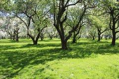 Φωτογραφία του ανθίζοντας κήπου της Apple στη Μόσχα την άνοιξη Στοκ Εικόνα
