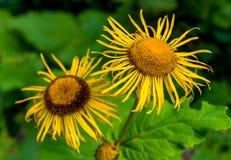 Φωτογραφία του κίτρινου άγριου λουλουδιού στα Καρπάθια βουνά Στοκ εικόνα με δικαίωμα ελεύθερης χρήσης