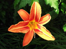 Φωτογραφία του μεγάλου λουλουδιού Στοκ Εικόνες