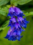 Φωτογραφία του μπλε ιώδους άγριου λουλουδιού στα Καρπάθια βουνά Στοκ φωτογραφία με δικαίωμα ελεύθερης χρήσης