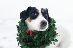 Φωτογραφία του νέου τεριέ του Jack Russell σε ένα στεφάνι Χριστουγέννων στο άσπρο υπόβαθρο Χριστούγεννα εύθυμα στοκ εικόνα με δικαίωμα ελεύθερης χρήσης