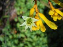 Φωτογραφία του λουλουδιού εγκαταστάσεων ποδιών καγκουρό Στοκ Φωτογραφίες
