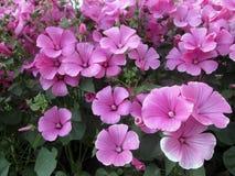 Φωτογραφία του πολύ όμορφου lavatera λουλουδιών Στοκ Φωτογραφία