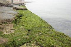 Φωτογραφία του πράσινου φυκιού σε μια παραλία Στοκ Εικόνες