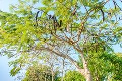 Φωτογραφία του προστατευόμενου δέντρου poinciana με τα φρούτα στοκ φωτογραφία