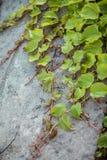 Φωτογραφία του τοίχου που αυξάνεται με τον κισσό Στοκ Φωτογραφία