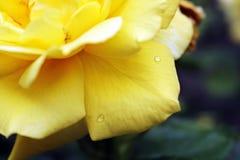 Φωτογραφία του όμορφου Yellow Rose Στοκ εικόνα με δικαίωμα ελεύθερης χρήσης