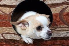 Φωτογραφία του chihuahua στο σκυλόσπιτο Στοκ Φωτογραφίες