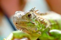 Φωτογραφία του iguana Στοκ Φωτογραφία