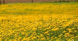 Φωτογραφία των κίτρινων πικραλίδων γύρω από την πράσινη χλόη στοκ φωτογραφία με δικαίωμα ελεύθερης χρήσης