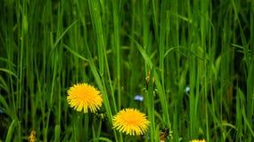Φωτογραφία των κίτρινων πικραλίδων στην υψηλή πράσινη χλόη στοκ φωτογραφία
