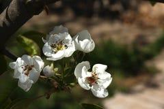Φωτογραφία των λουλουδιών στα δέντρα της Apple Στοκ φωτογραφίες με δικαίωμα ελεύθερης χρήσης