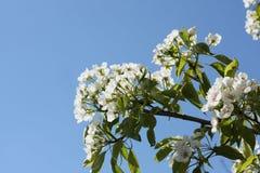 Φωτογραφία των λουλουδιών στα δέντρα της Apple Στοκ Φωτογραφίες