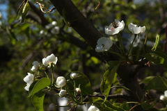 Φωτογραφία των λουλουδιών στα δέντρα της Apple Στοκ εικόνα με δικαίωμα ελεύθερης χρήσης