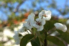 Φωτογραφία των λουλουδιών στα δέντρα της Apple Στοκ Εικόνες