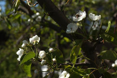Φωτογραφία των λουλουδιών στα δέντρα της Apple Στοκ Φωτογραφία