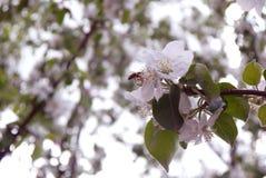 φωτογραφία των λουλουδιών του δέντρου της Apple ενάντια στον ουρανό Στοκ Φωτογραφίες
