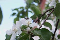 φωτογραφία των λουλουδιών του δέντρου της Apple ενάντια στον ουρανό Στοκ φωτογραφία με δικαίωμα ελεύθερης χρήσης