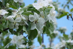 φωτογραφία των λουλουδιών του δέντρου της Apple ενάντια στον ουρανό Στοκ εικόνα με δικαίωμα ελεύθερης χρήσης