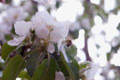 φωτογραφία των λουλουδιών του δέντρου της Apple ενάντια στον ουρανό Στοκ Εικόνα