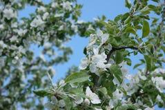 φωτογραφία των λουλουδιών του δέντρου της Apple ενάντια στον ουρανό Στοκ εικόνες με δικαίωμα ελεύθερης χρήσης
