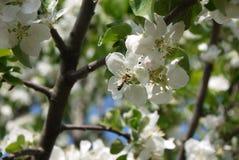 φωτογραφία των λουλουδιών του δέντρου της Apple ενάντια στον ουρανό Στοκ Φωτογραφία