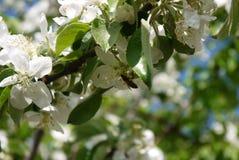 φωτογραφία των λουλουδιών του δέντρου της Apple ενάντια στον ουρανό Στοκ φωτογραφίες με δικαίωμα ελεύθερης χρήσης