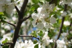 φωτογραφία των λουλουδιών του δέντρου της Apple ενάντια στον ουρανό Στοκ Εικόνες