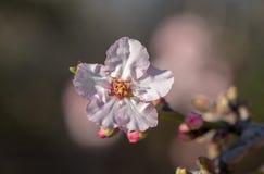 Φωτογραφία των ρόδινων άσπρων λουλουδιών αμυγδαλιών στοκ εικόνες