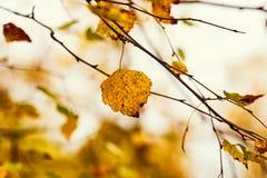 Φωτογραφία των φύλλων σημύδων σε ένα δέντρο Χρυσό φθινόπωρο 1 ανασκόπηση καλύπτει το νεφελώδη ουρανό στοκ φωτογραφίες με δικαίωμα ελεύθερης χρήσης