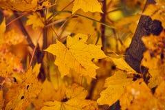 Φωτογραφία των φύλλων σφενδάμου σε ένα δέντρο Χρυσό φθινόπωρο Φωτεινό κόκκινο, κίτρινο, πορτοκαλί υπόβαθρο στοκ φωτογραφία με δικαίωμα ελεύθερης χρήσης