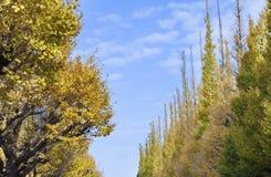 Φωτογραφία των χρυσών φύλλων δέντρων Ginkgo Biloba φθινοπώρου το φθινόπωρο Ιαπωνία Στοκ Εικόνες