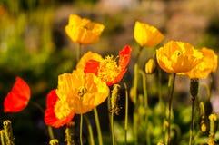 Φωτογραφία των όμορφων λουλουδιών παπαρουνών στοκ φωτογραφία