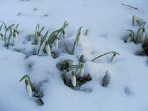 Φωτογραφία των nivalis Galanthus snowdrops Στοκ φωτογραφίες με δικαίωμα ελεύθερης χρήσης