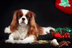 Φωτογραφία Χριστουγέννων του αλαζόνας σπανιέλ Charles βασιλιάδων στο μαύρο υπόβαθρο στοκ φωτογραφία