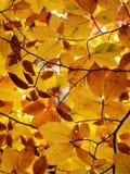 Φωτογραφία χρώματος του δέντρου οξιών φθινοπώρου Στοκ Εικόνα