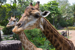 Giraffe ένα ζώο Στοκ εικόνα με δικαίωμα ελεύθερης χρήσης