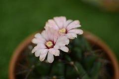 Φωτογραφίες από τα λουλούδια κάκτων το καλοκαίρι στοκ φωτογραφία με δικαίωμα ελεύθερης χρήσης