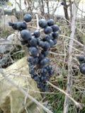 Φωτογραφίες από τις διαφορετικές θέσεις με τους φυλλώδεις μίσχους, με τα μαύρα φρούτα στοκ εικόνες με δικαίωμα ελεύθερης χρήσης