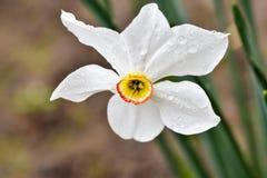 Φωτογραφίες με ένα όμορφο, ευγενές και μόνο λουλούδι ενός άσπρου jonquilla ναρκίσσων, jonquil, βιασύνη daffodil στοκ εικόνες