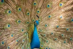 Φωτογραφίες των peacocks που παρουσιάζουν όμορφα φτερά Στοκ εικόνες με δικαίωμα ελεύθερης χρήσης