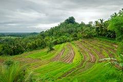 φωτογραφισμένο πεζούλι ρυζιού του Μπαλί η Ινδονησία πρεσών Ινδονησία Στοκ Εικόνες