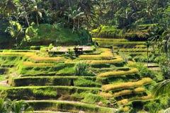 φωτογραφισμένο πεζούλι ρυζιού του Μπαλί η Ινδονησία Στοκ φωτογραφία με δικαίωμα ελεύθερης χρήσης