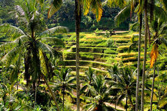 φωτογραφισμένο πεζούλι ρυζιού του Μπαλί η Ινδονησία Στοκ Φωτογραφίες